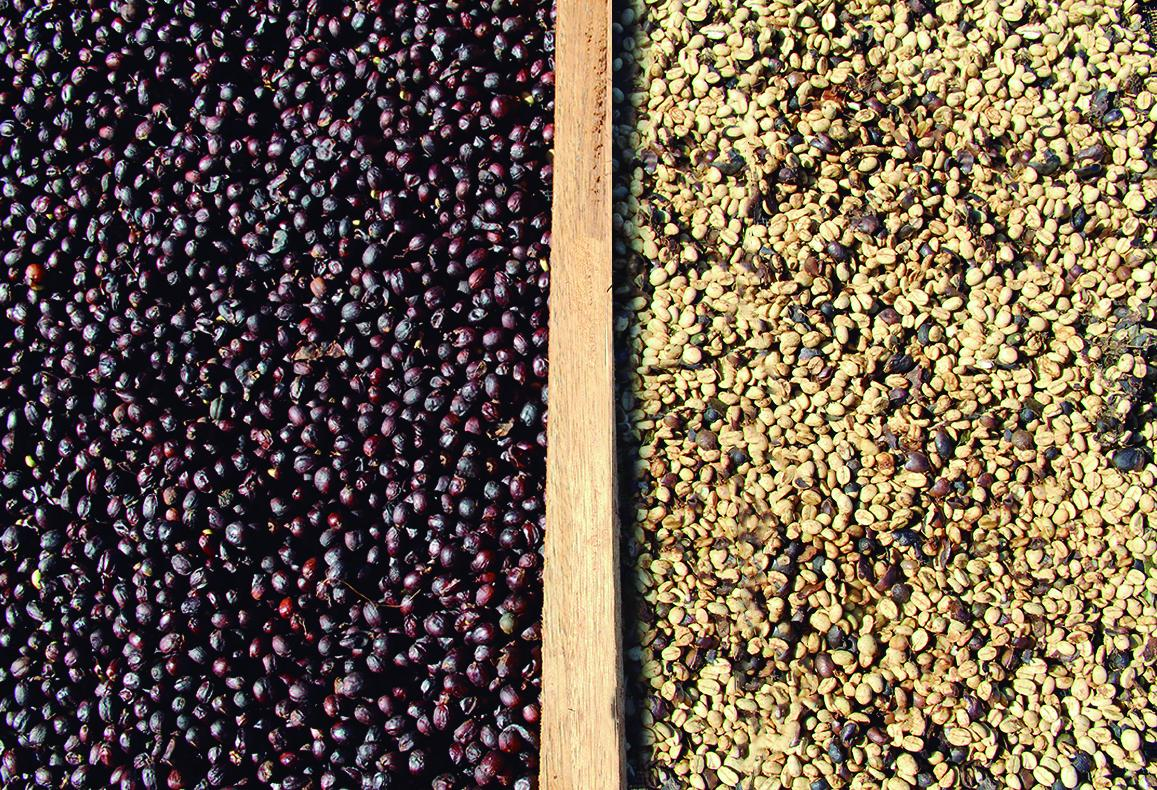 The differences between Natural coffee and the Pulped Natural